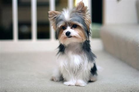 biewer terrier haircuts 155 best yorkie haircuts images on pinterest pets