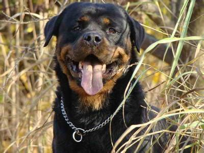 when do rottweilers stop growing is he done growing and does he look in your opinion a of rottweilers