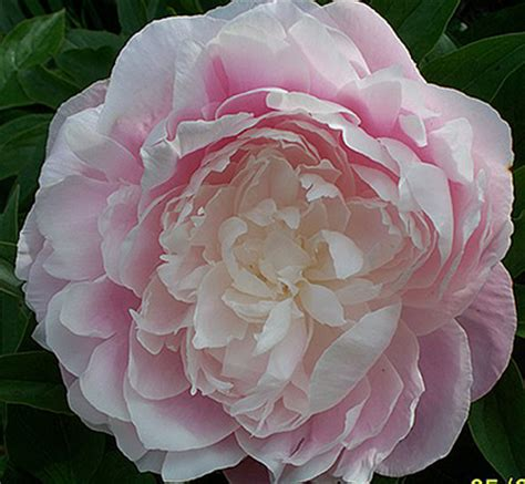 peony tours peonies product categories marde ross company