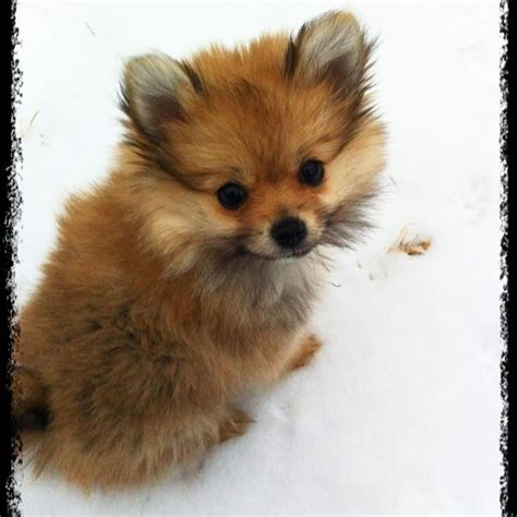Like A Fox by Yorkie Pom Yorkie Pom Cross Porkie It Looks Like A