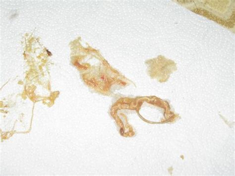 Roundworms In Dogs Stool by Roundworms In Cats A Cat With Roundworms Will Often Vo