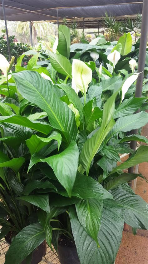 peace lily indoor  foliage plants plants ross