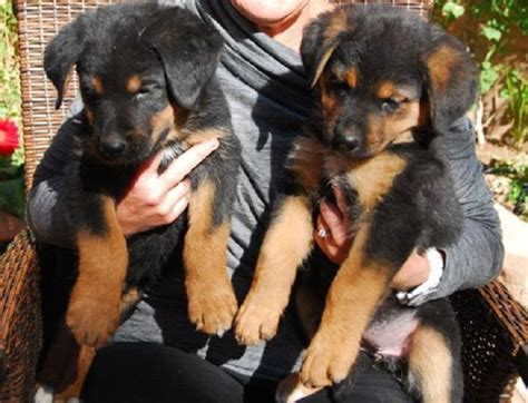 rottweiler german shepherd mix puppies for sale 17 best ideas about rottweiler mix on rottweiler lab mixes doberman