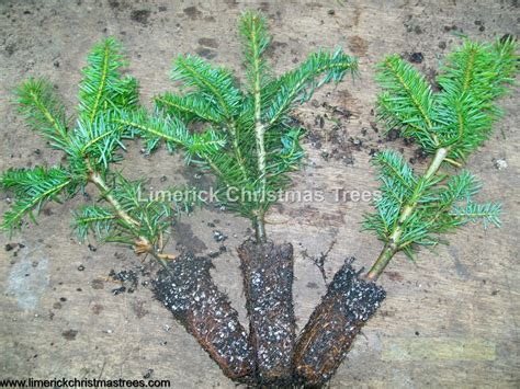 noble fir trees for sale seedlings