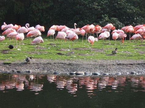 goelde sili flamingolari goeruentueler ile flamingo