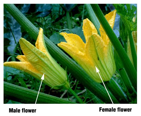 The female flower has a tiny squash at its base and a shorter stem