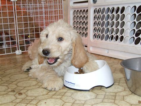 best puppy food for labradoodles best large breed puppy foods aussiedoodle and labradoodle puppies breeds picture