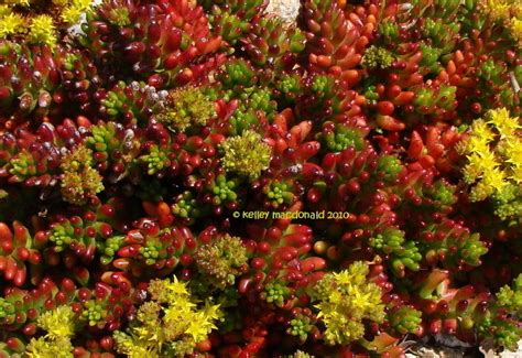 plantfiles pictures sedum species jelly bean sedum pork