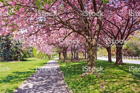 cherry blossom trees along road stock photo more pictures of in nature istock