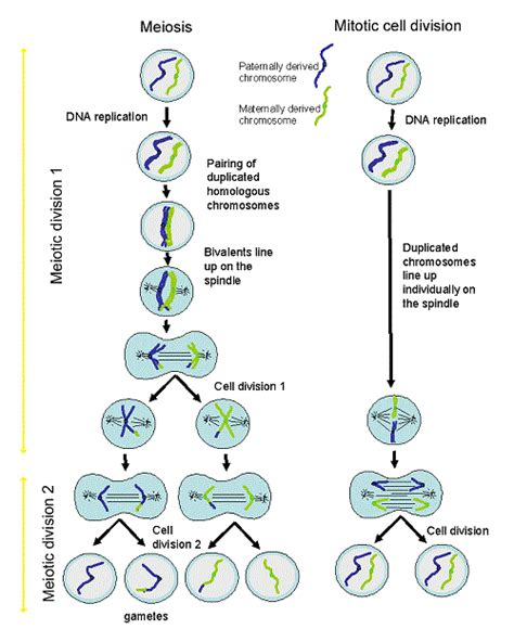 diagram exles division learning mitosis cell division diagram humandiagram info