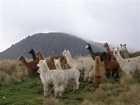 file alpacas jpg wikimedia commons