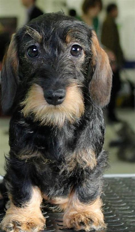 hair weiner wire haired dachshund so and look at on
