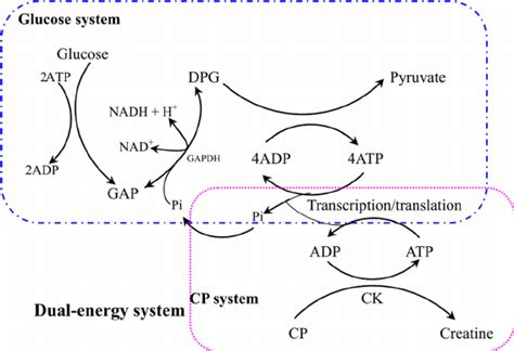 creatine phosphate atp regeneration in the dual energy system combined