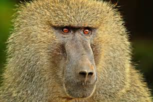 baboon wallpapers backgrounds