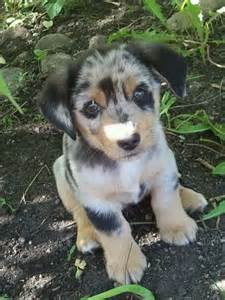 corgi australian shepherd mix puppies best 25 mini australian shepherds ideas on