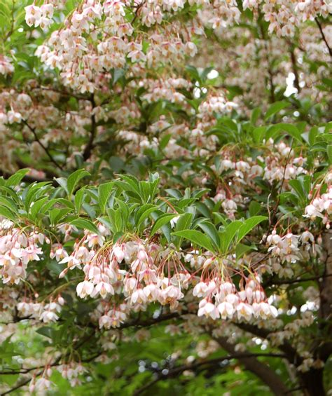 pink chimes japanese snowbell