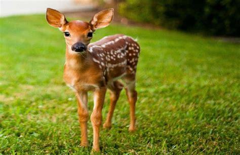 Du Deer Fit L la biche de lumi 232 re elishean portes du temps
