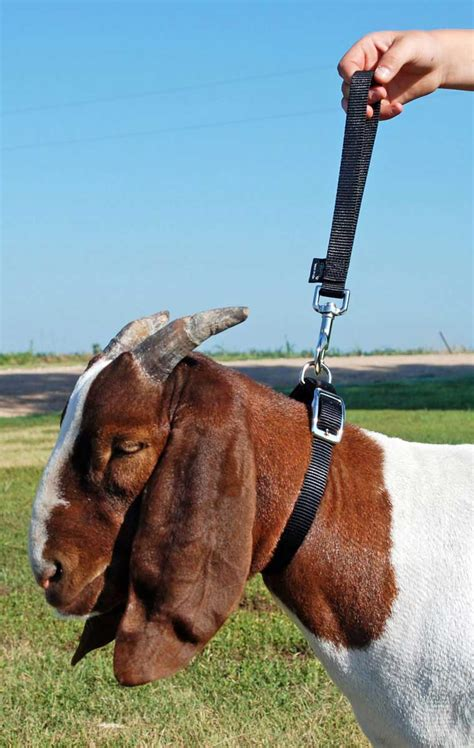 nylon goat leads weaver livestock supply showing grooming show goat halters collars leads