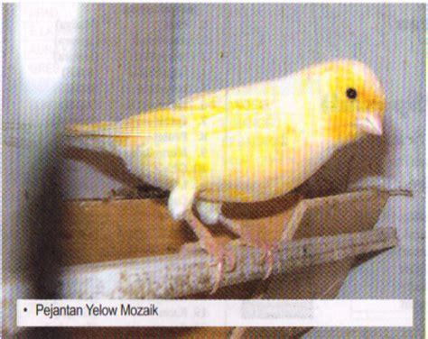 Pakan Anakan Branjangan kenari merah lokal mania burung kenari caroldoey