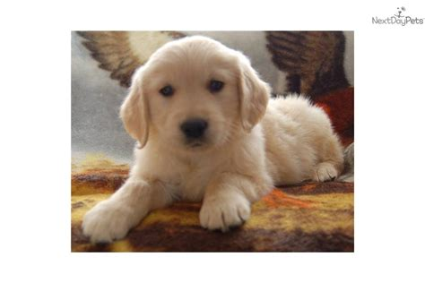 european golden retrievers for sale european golden retrievers for sale breeds picture