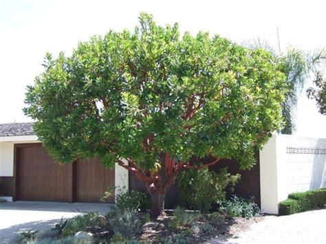 corbezzolo in vaso corbezzolo arbutus unedo alberi corbezzolo variet 224