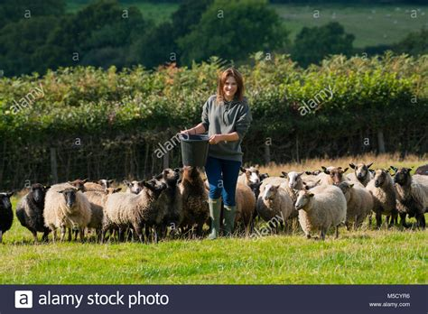 alimentazione pecore feeding shetland sheep immagini feeding shetland sheep
