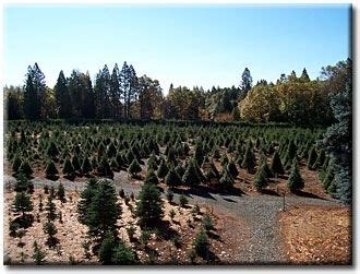 christmas tree farms in sacramento mcburney tree farm grass valley ca sacramento and northern california with