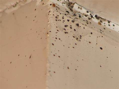 bed bug feces bed bug droppings on wall