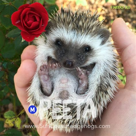 hedgehog for sale peeta greypinto grey pinto available hedgehogs for