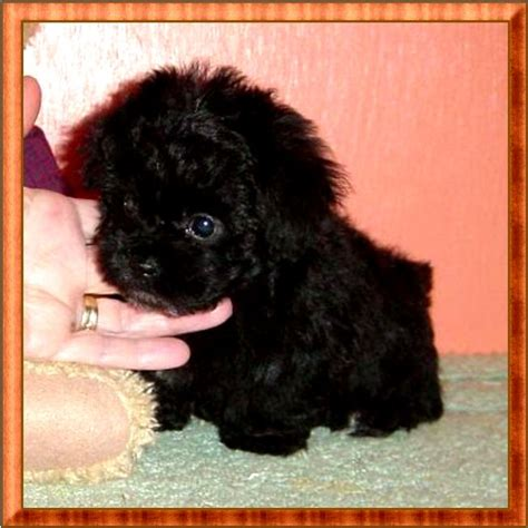 teacup poodle mixed with yorkie teacup poodle yorkie mix photo