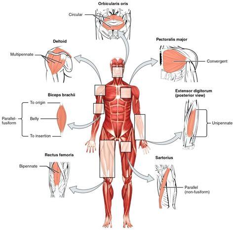 diagram of muscular system diagram muscular system diagram worksheet