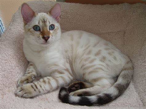 blue eyed snow bengal kitten 3 months old youtube blue eyed snow kittens dursley gloucestershire pets4homes