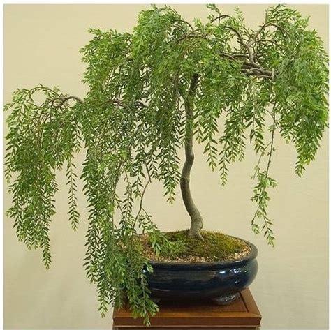 salice piangente in vaso come curare un bonsai di salice piangente fare bonsai