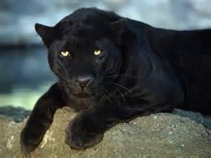 Jaguar Panther Big Cats Fascinating Animals