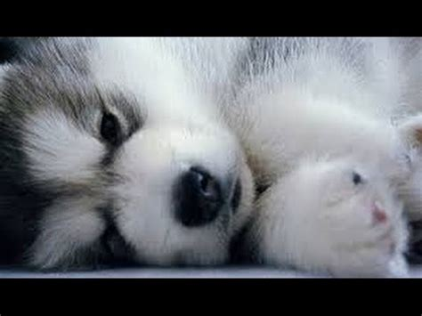 pomeranian cross husky puppies pomsky puppies puppy pomskies cross pomeranian husky tiny adorable baby pom