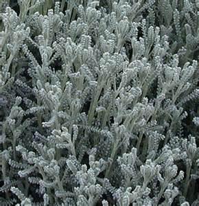 What Zone Is California In For Gardening - santolina chamaecyparissus gray santolina
