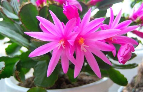 indoor flowering plant for hanging baskets easter cactus