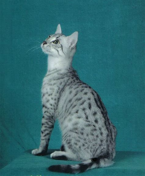 wallpaper egypt cat egypitain mau cats egyptian mau cat picture canadian