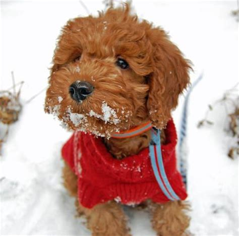 mini labradoodles oklahoma 1000 ideas about miniature labradoodle on