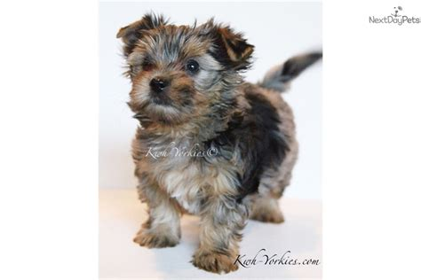 merle yorkie blue merle yorkishire blue terrier for sale in fort worth tx