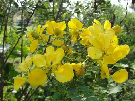 yellow flowered shrub crossword clue l a times crossword corner saturday dec 28th 2013