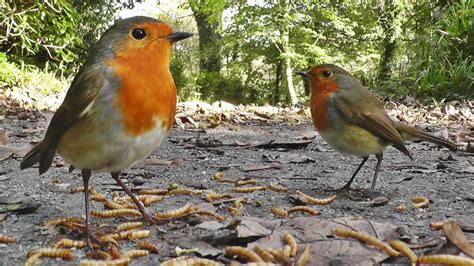 videos for cats to watch robin birds ground feeding at