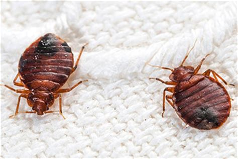 where to check for bed bugs bed bug bites pictures symptoms and treatment