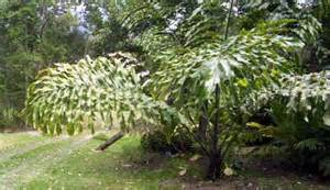 17 best images about plants on madagascar the 17 best images about palms on plants