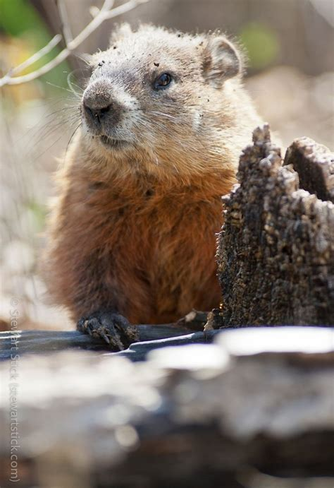 groundhog day best 17 best images about groundhogs on bill de