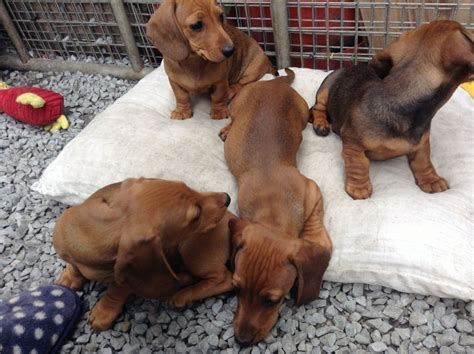 daschund puppies for sale dachshund puppies for sale llanelli carmarthenshire pets4homes