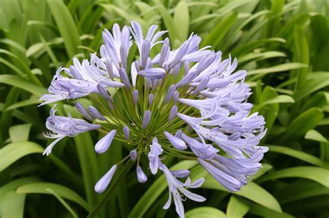 fiore d fiore d irlanda foto immagini piante fiori e funghi