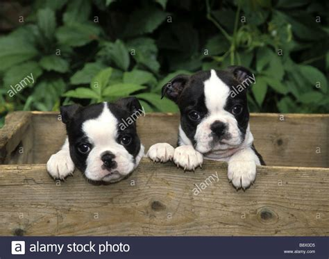 puppies in a box two boston terrier puppies in a wooden box stock photo royalty free image 22698737