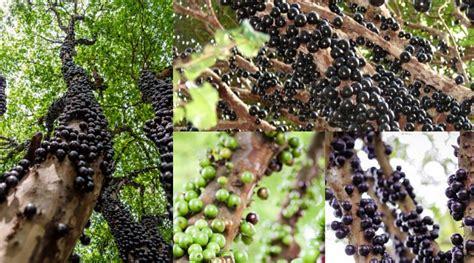 Abon Anggur 1kg Abon Anggur jual tanaman anggur batang anggur brazil kebonbibit