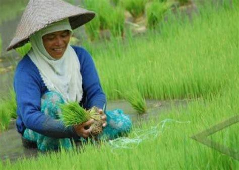 Bibit Padi cara menanam padi yang baik dan benar